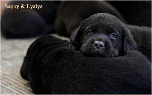 puppies_sappy_lala22