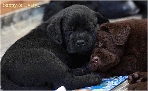 puppies_sappy_lala23